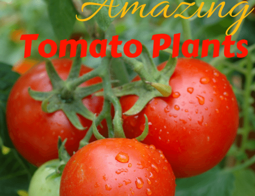 Secrets To Growing Amazing Tomato Plants
